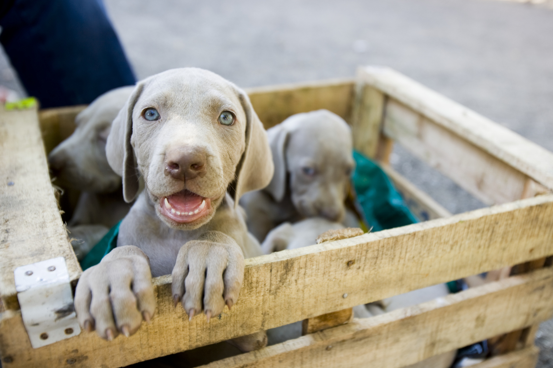 Brown puppies in crate