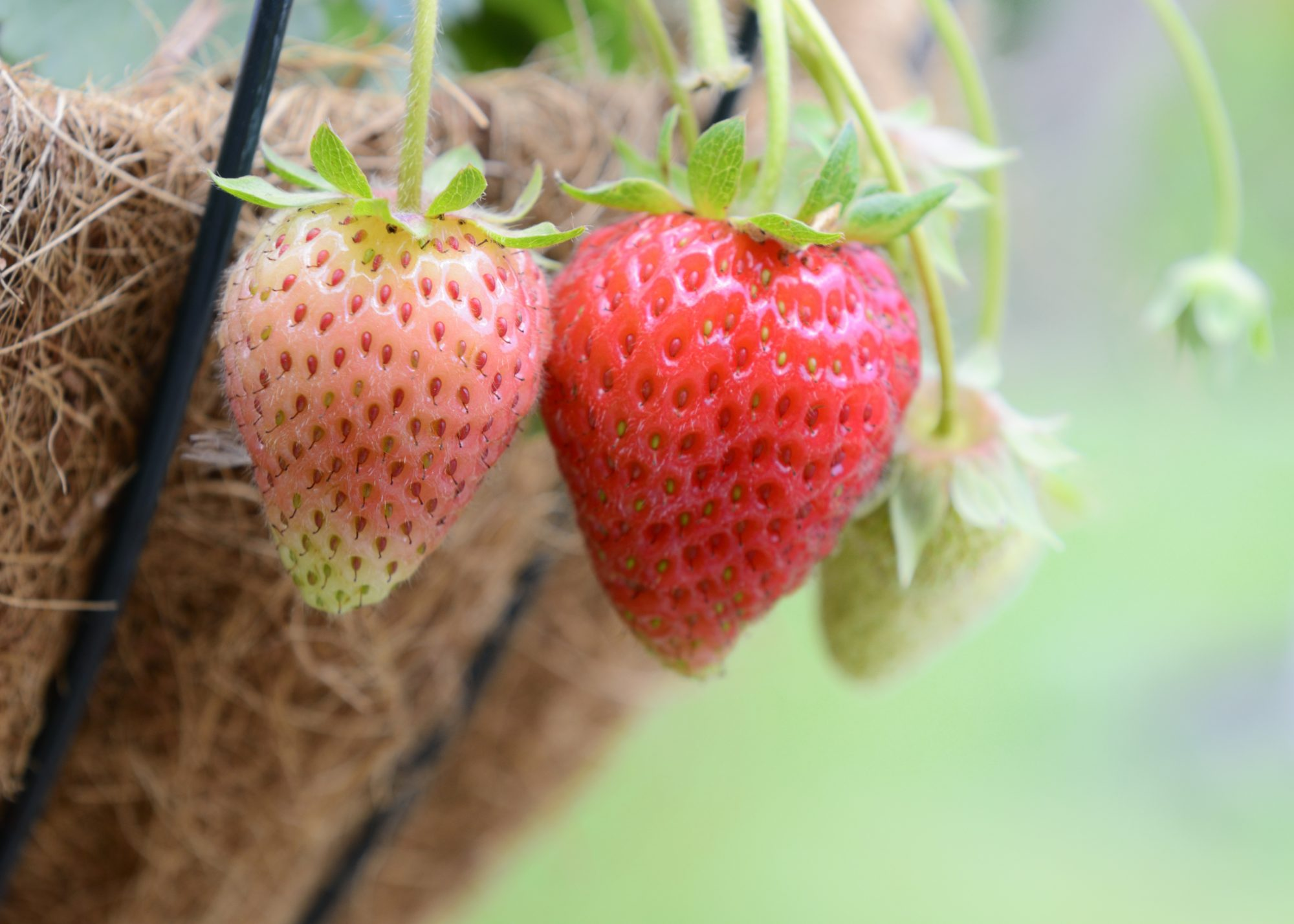 Fruits and Vegetables You Can Grow in a Hanging Basket