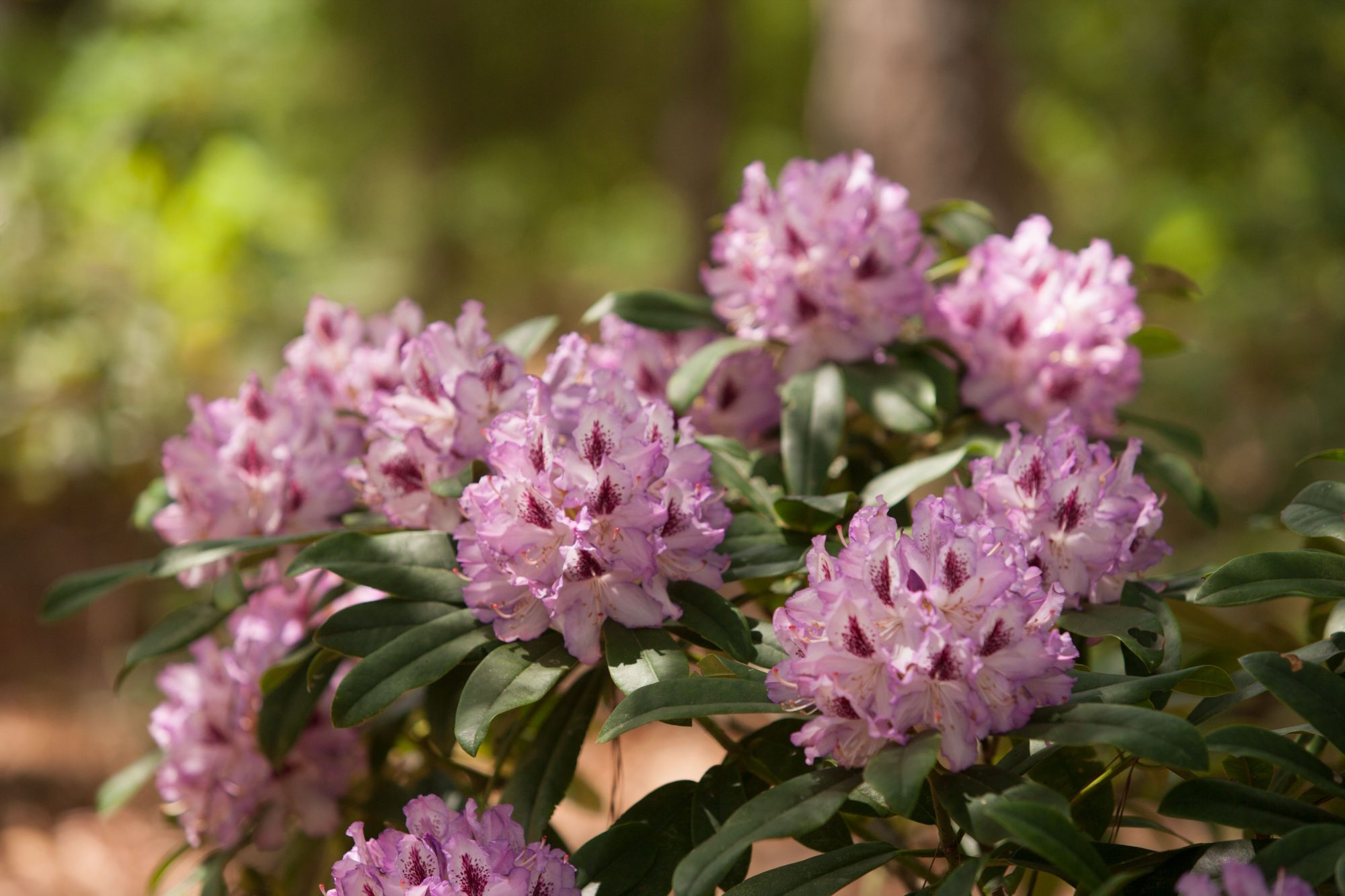 Rhododendrons are just hard in the south southern living blue ensign rhodedendrons izmirmasajfo