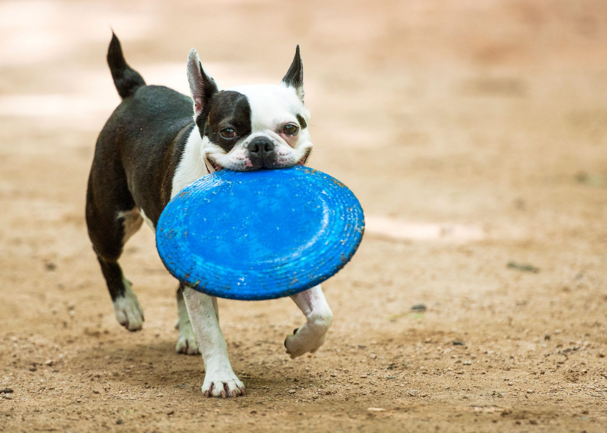 Boston Terrier with Frisbee