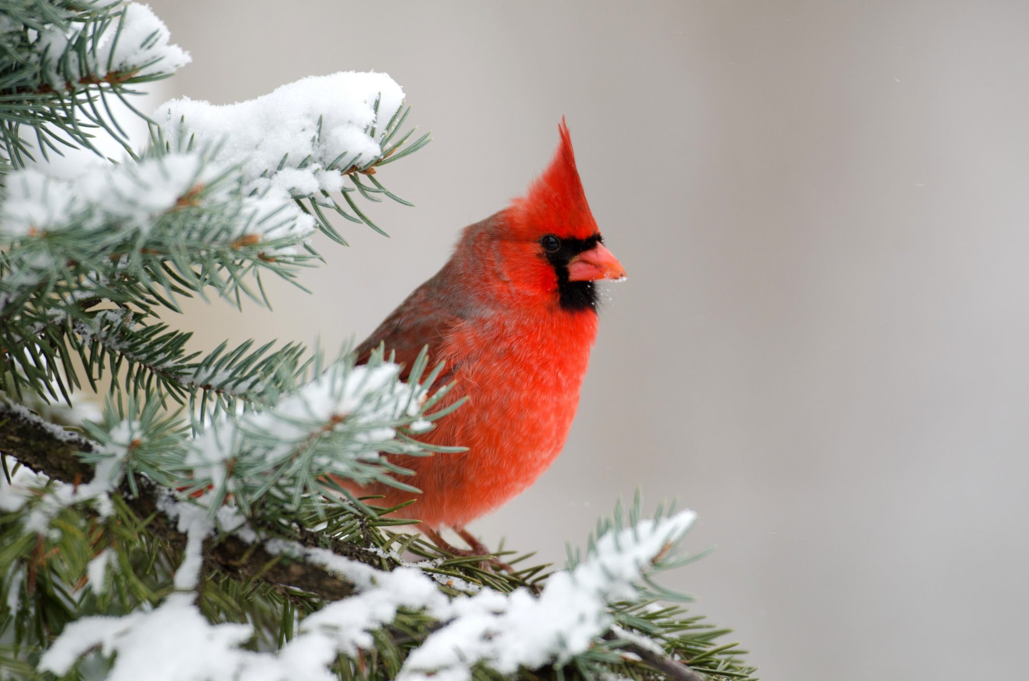 c9d7a3c7 Why The Northern Cardinal is a Favorite Winter Bird - Southern Living