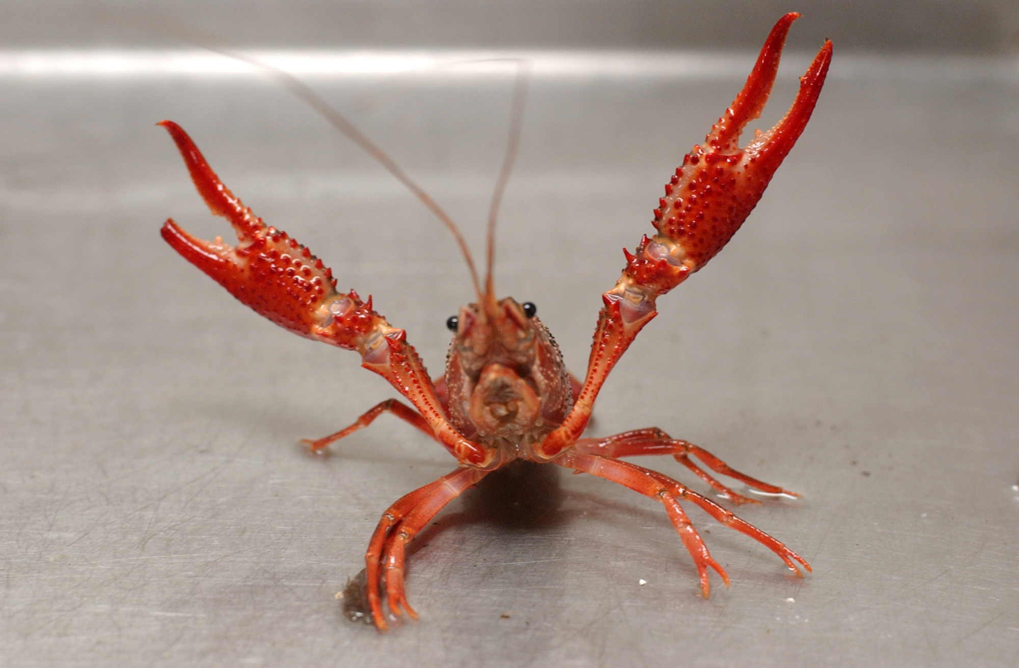 crawfish might help scientists explain drunkenness really southern