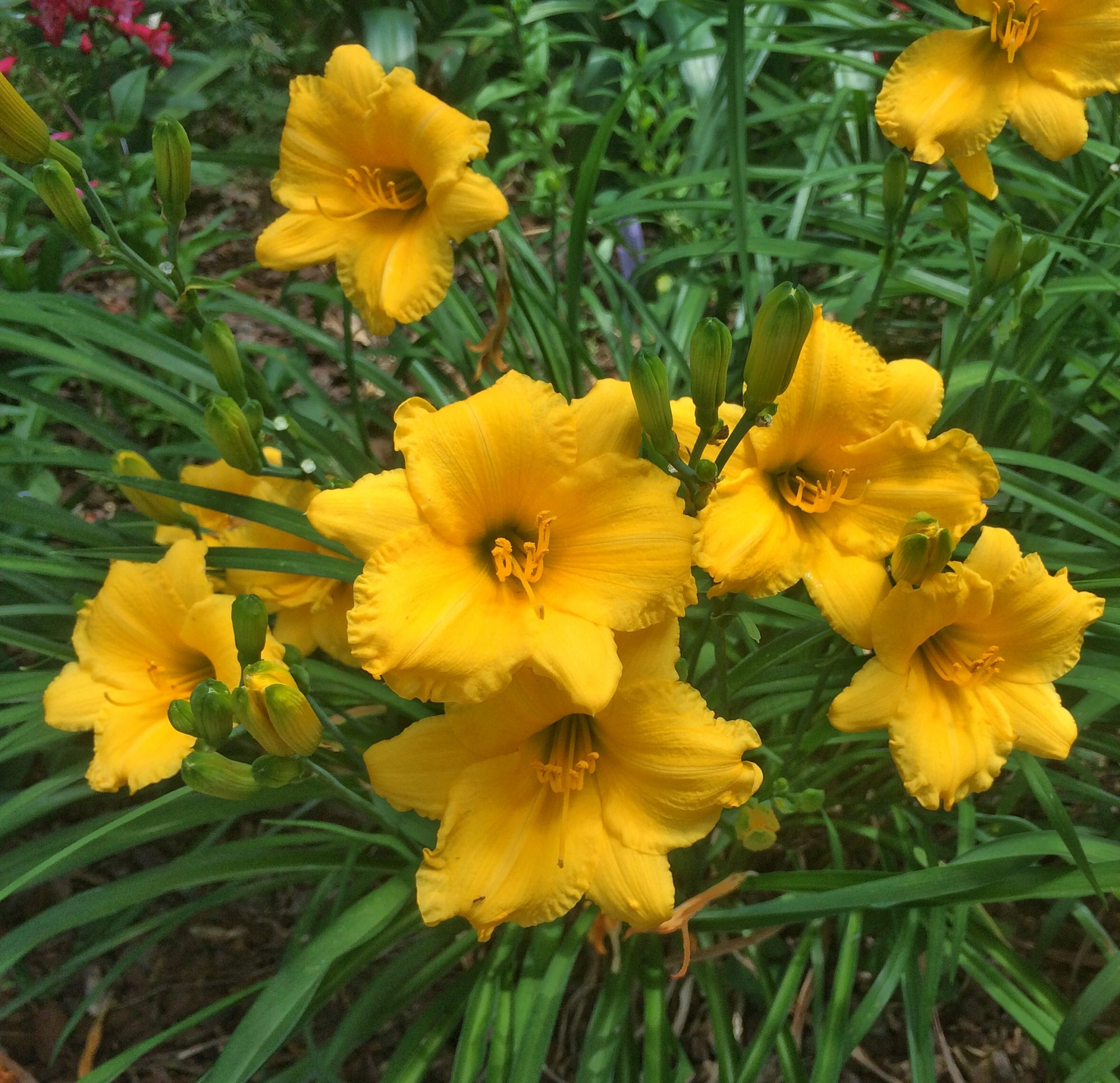 These daylilies bloom all summer southern living mightylinksfo