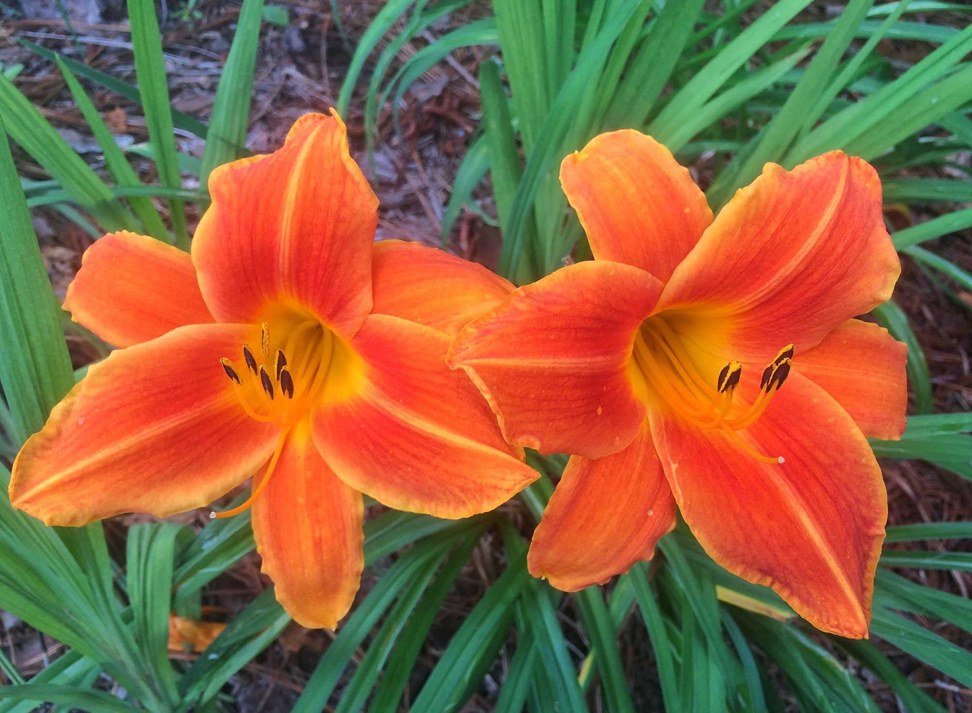 Sumpin important about lilies southern living daylilies izmirmasajfo