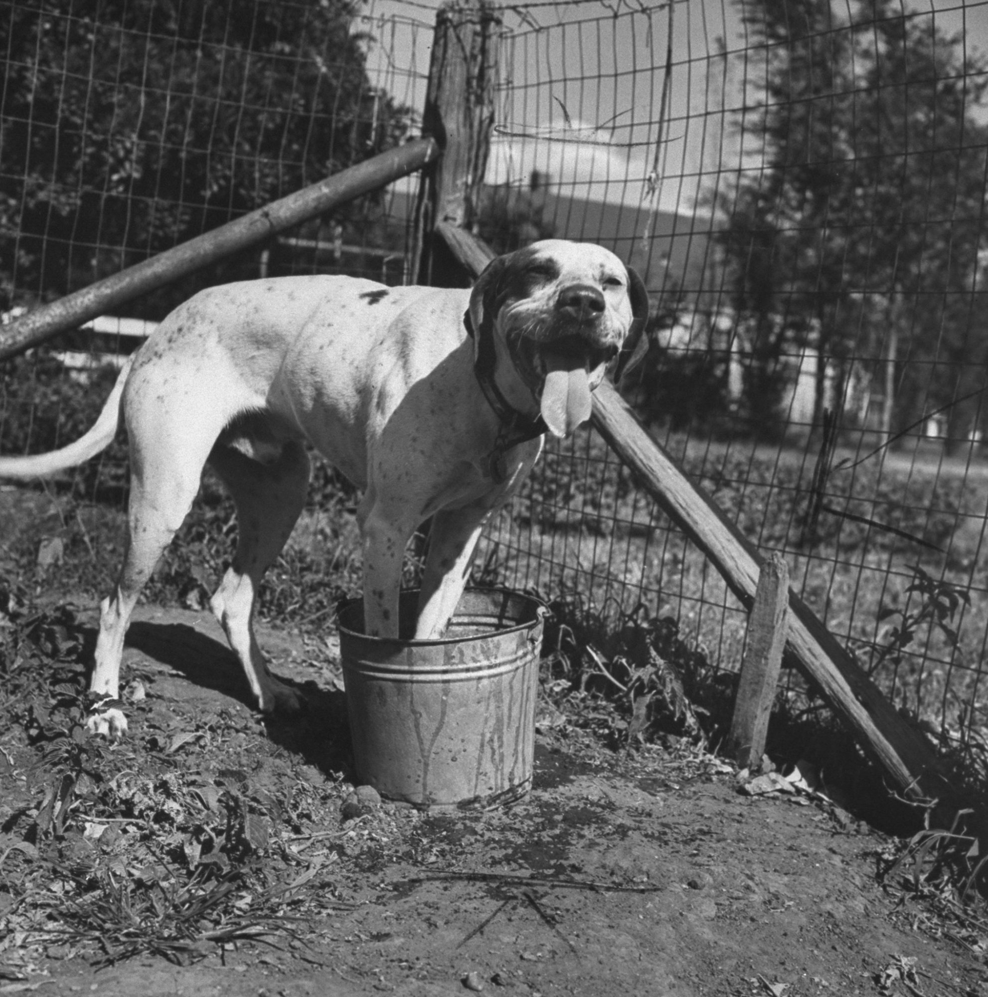 Dog Standing in Water Bucket