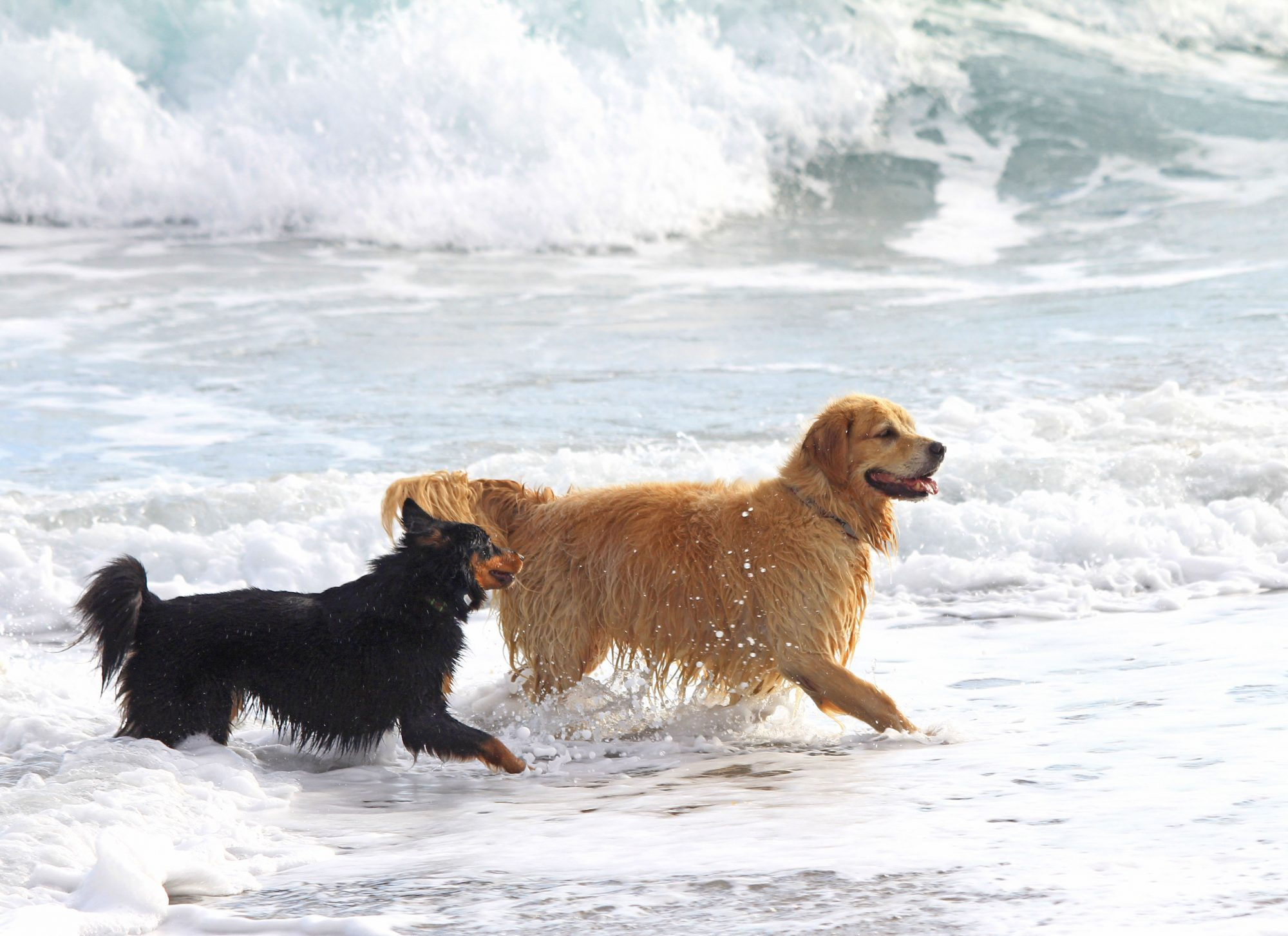 Dogs playing in beach waves