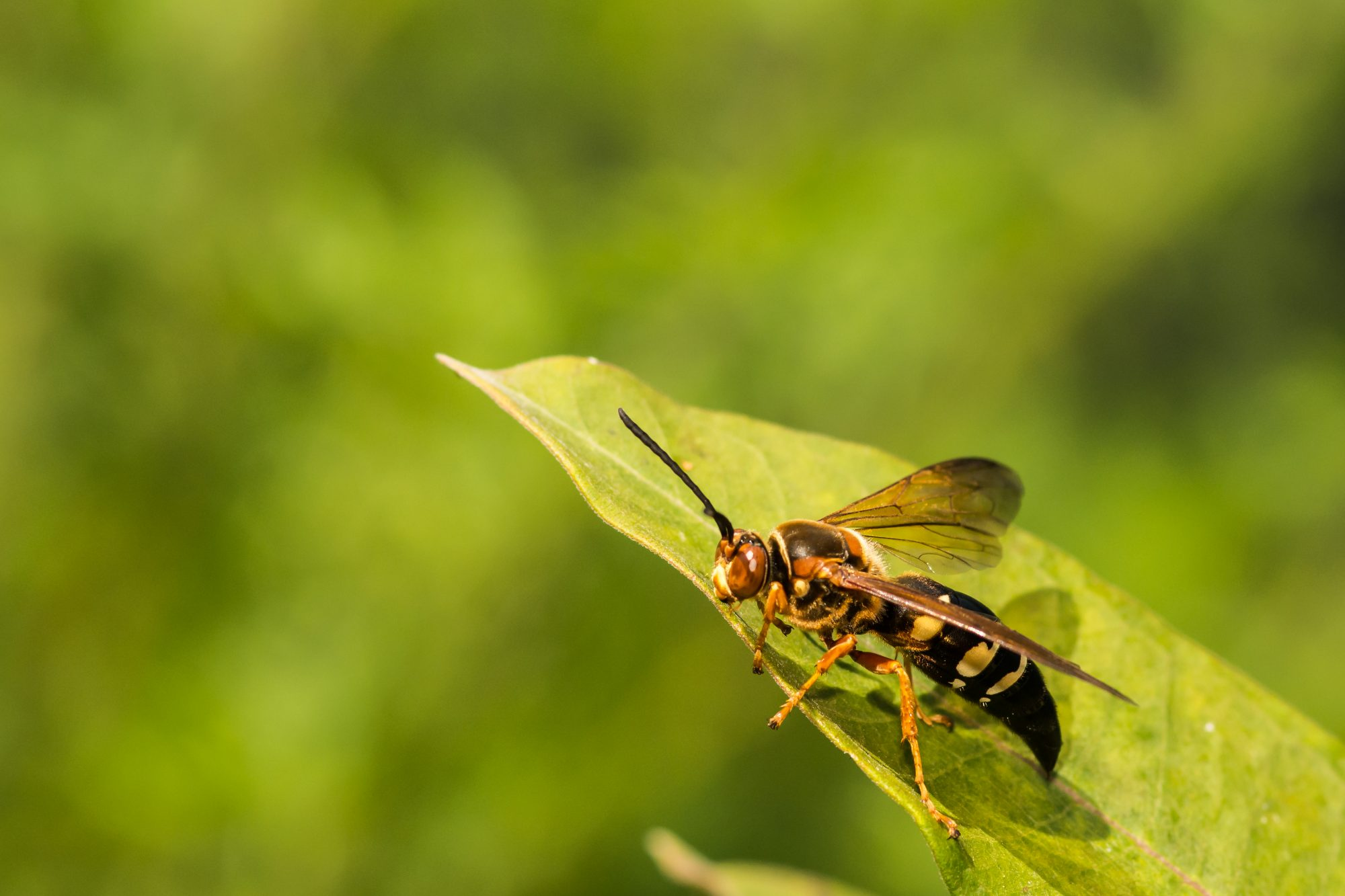 Eastern Cicada Killer Wasp