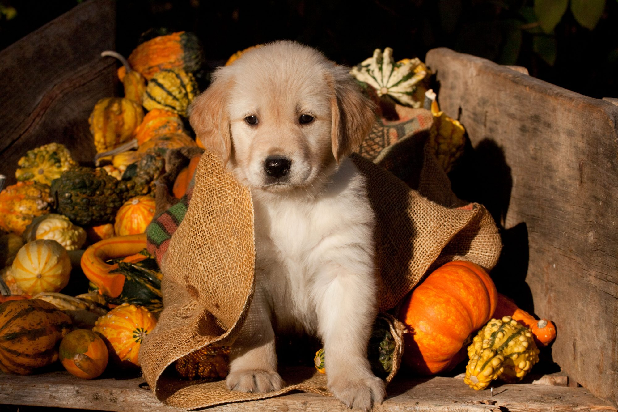 Golden Retriever Puppy Amongst Gourds