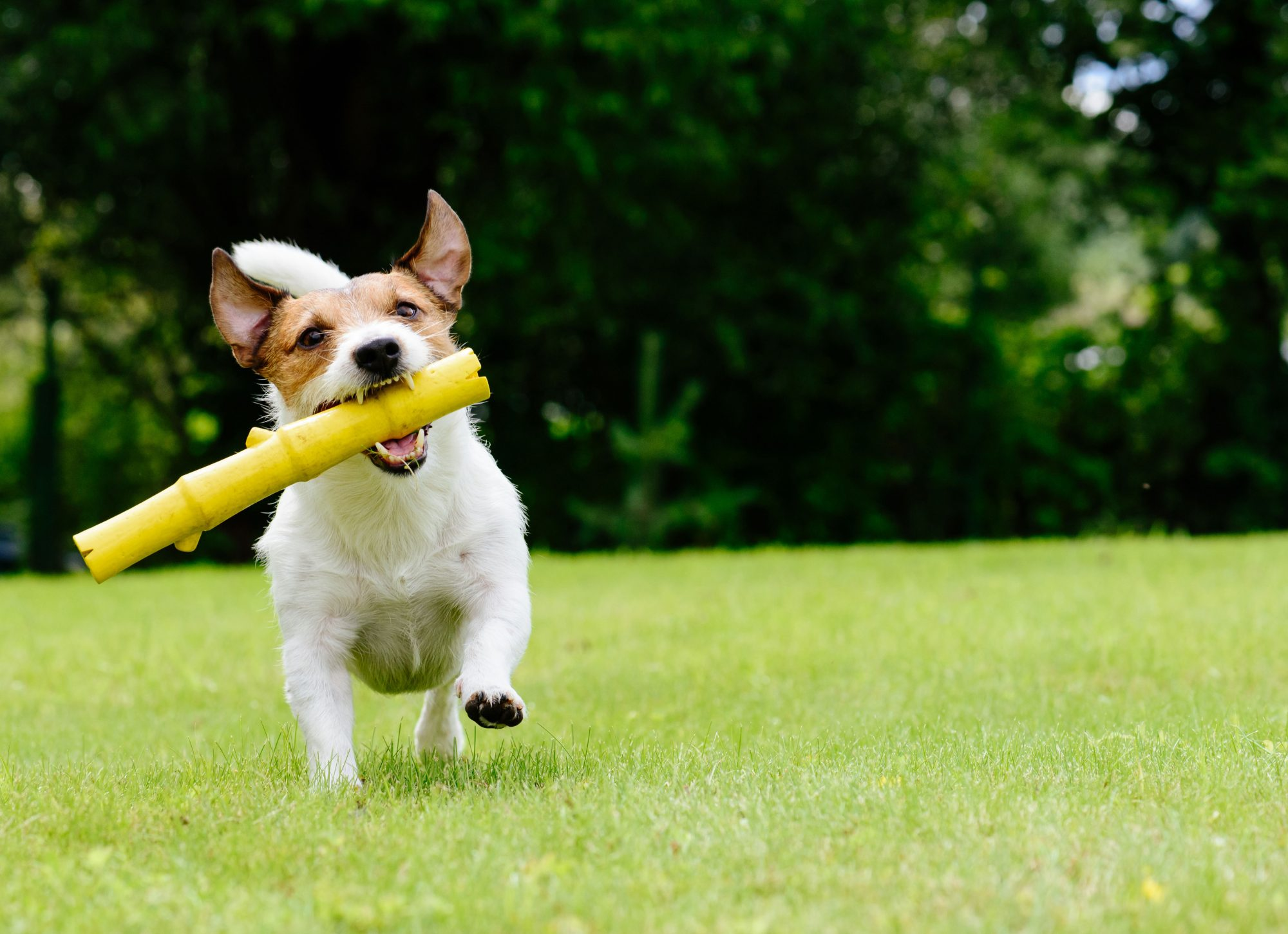 Jack Russell with stick