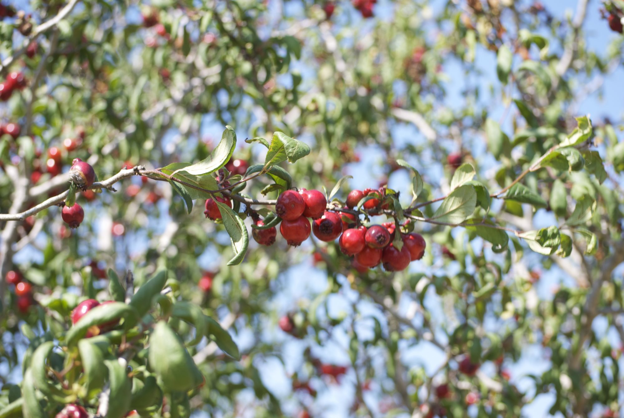 Mayhaw Berry