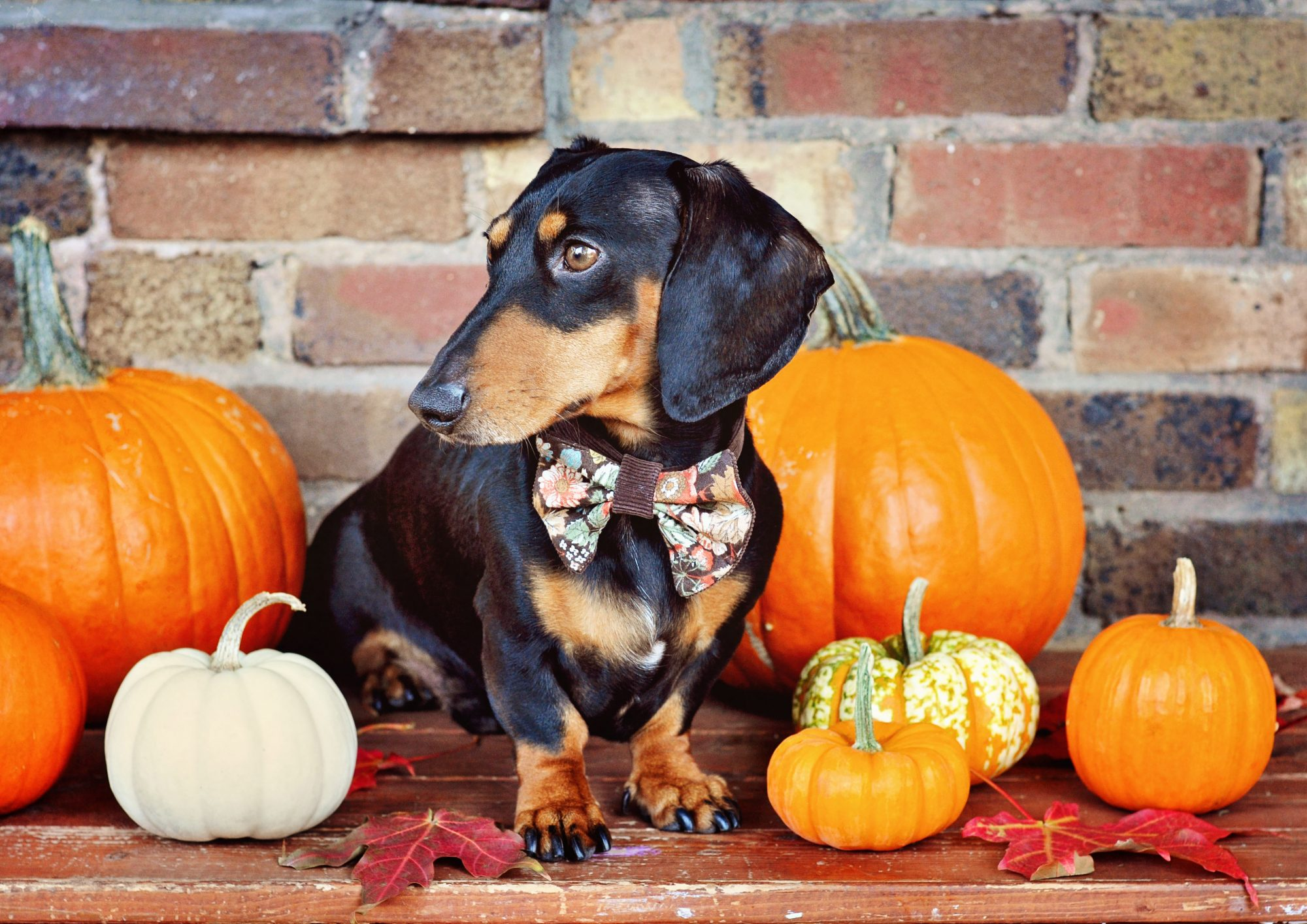 RX_1610_Fall Puppies_Dachshund with Pumpkins