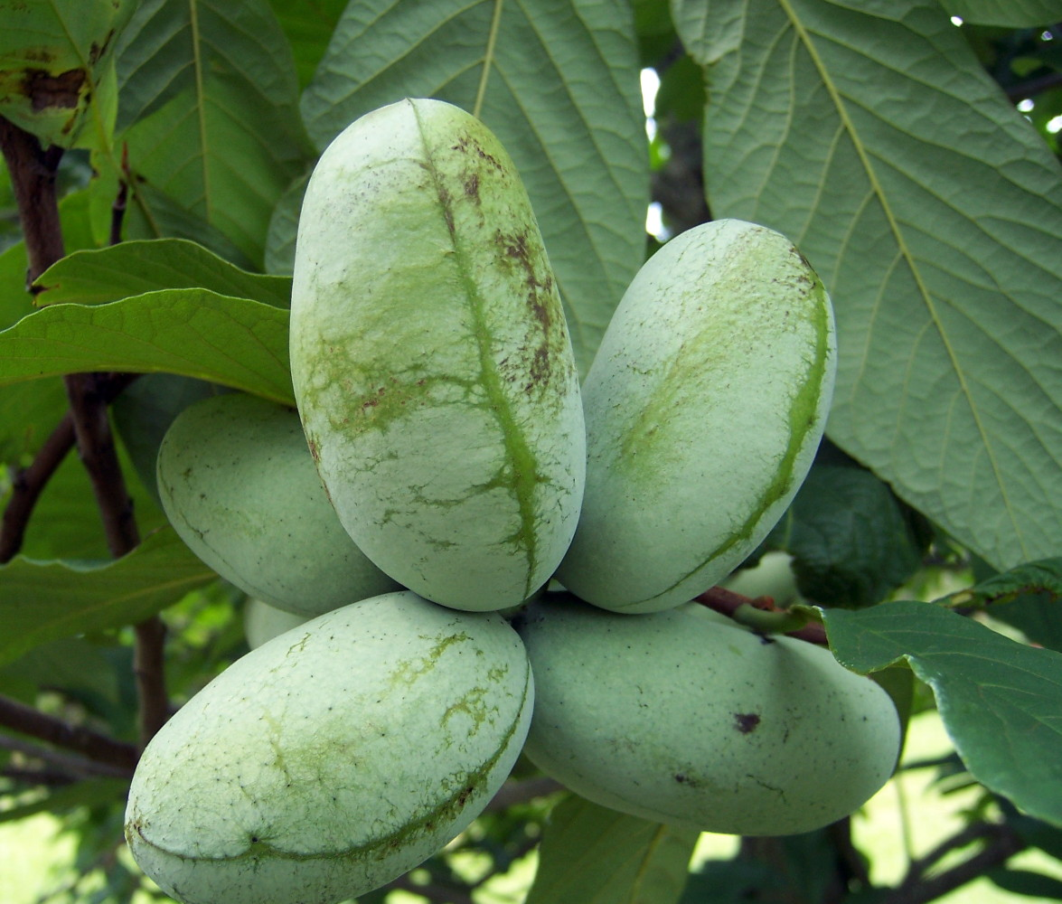 What's a Paw-Paw Tree? - Southern Living