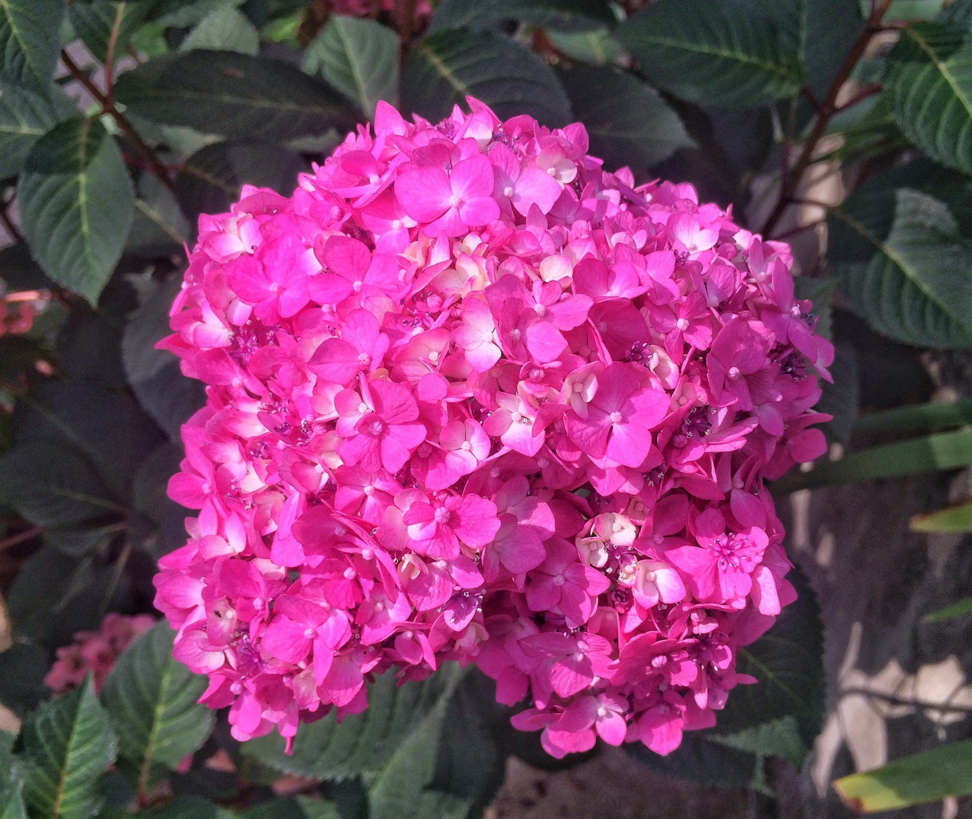 How Long Does It Take To Turn A Pink Hydrangea Blue Southern Living