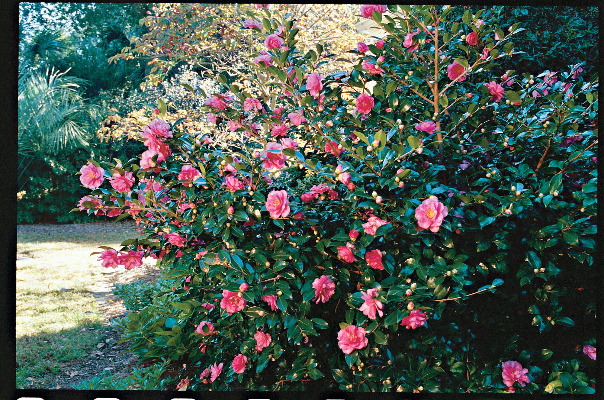 The camelia for fall southern living the camelia for fall mightylinksfo