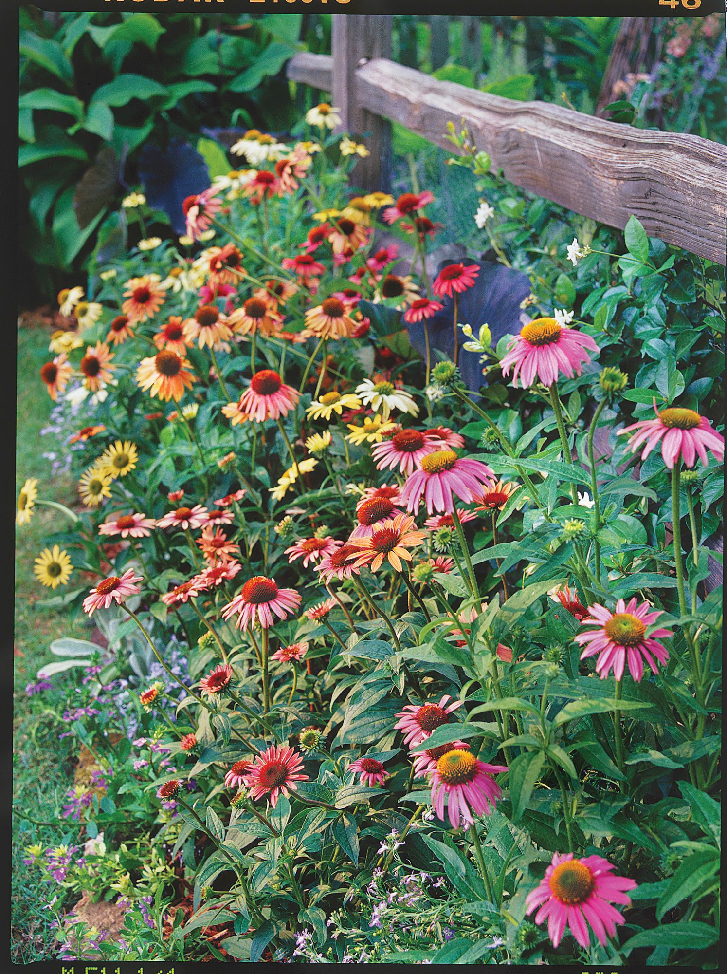 New Colors For Coneflowers Southern Living