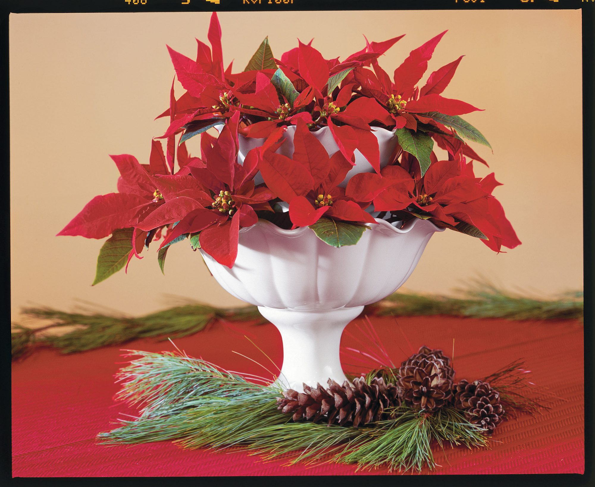 Simply Red Poinsettias