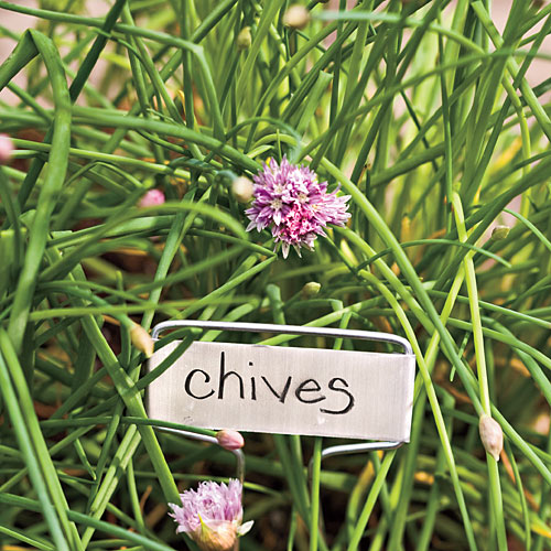 Plant Chives