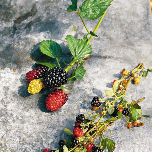Bigger Better Blackberries