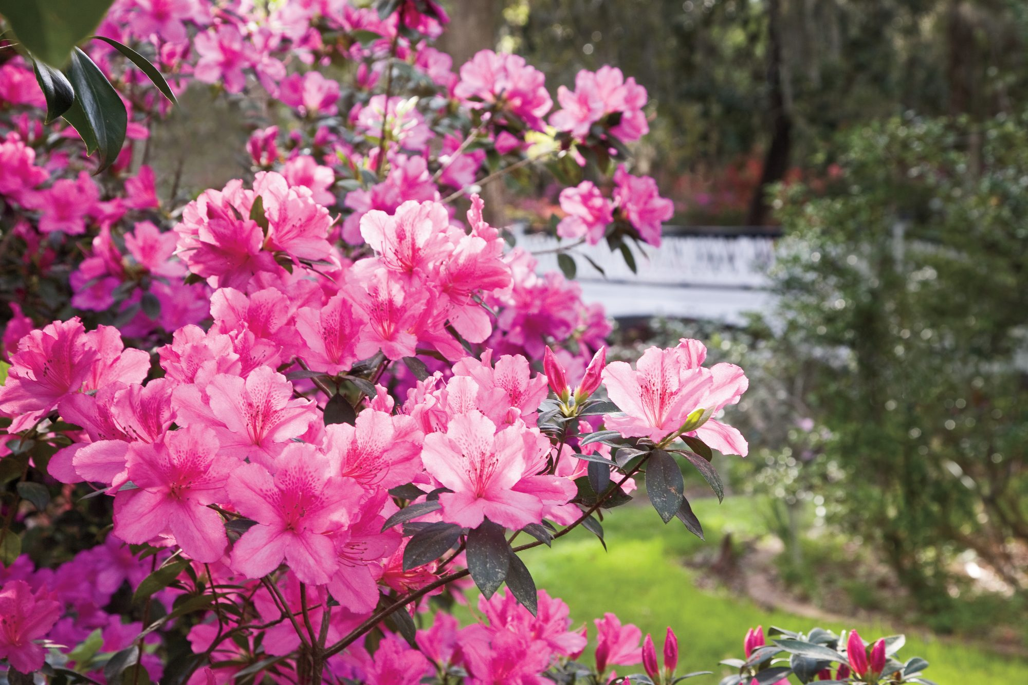 The Complete Guide To Azaleas Southern Living
