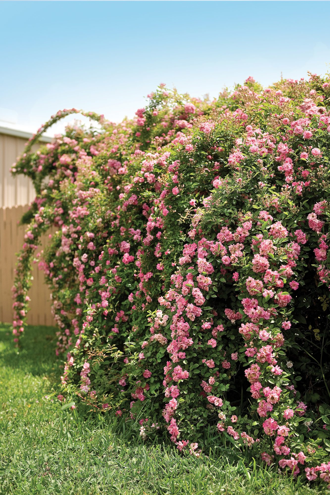 The Rose That Survived Katrina - Southern Living