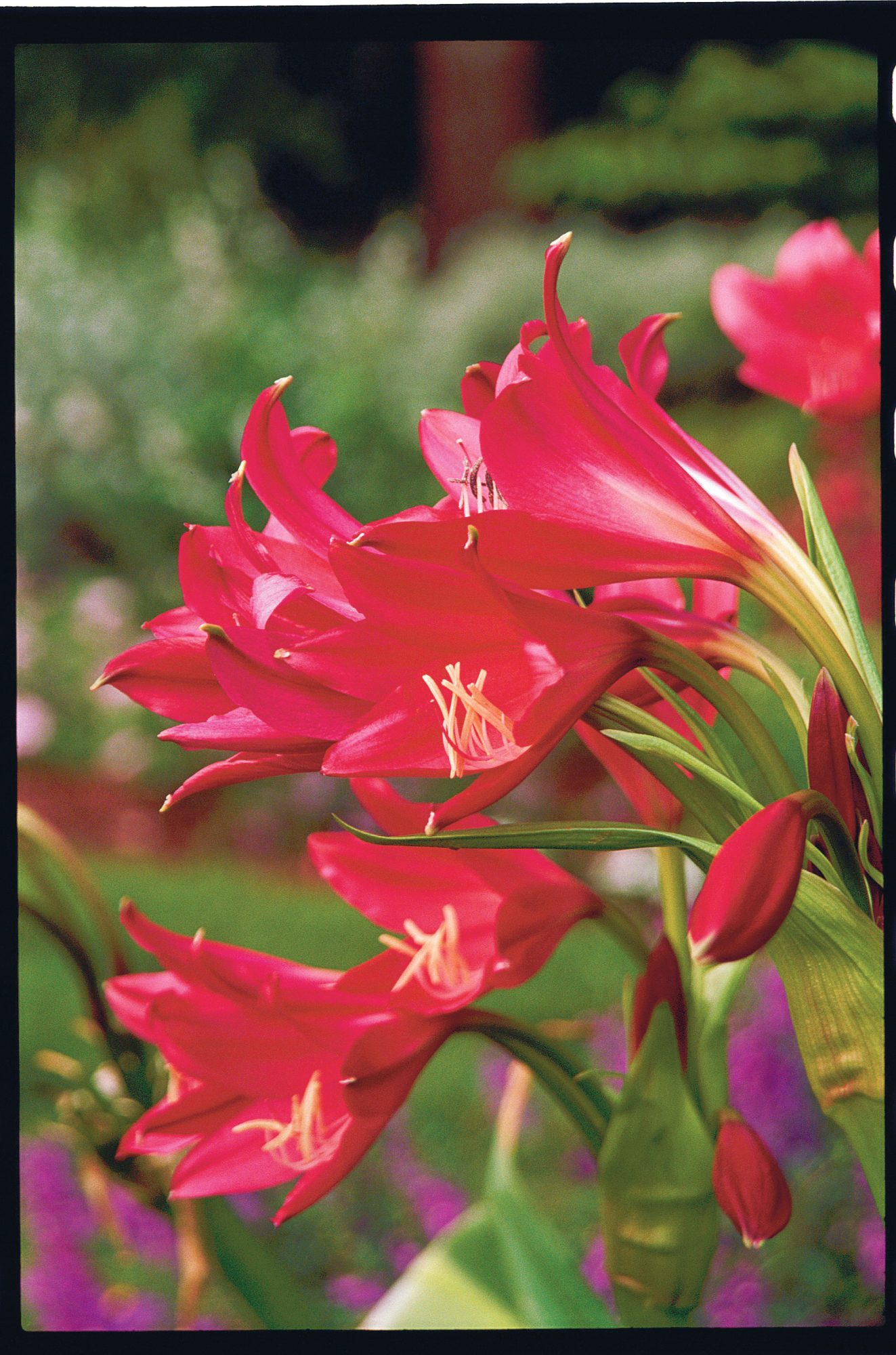 Red Crinum Lily