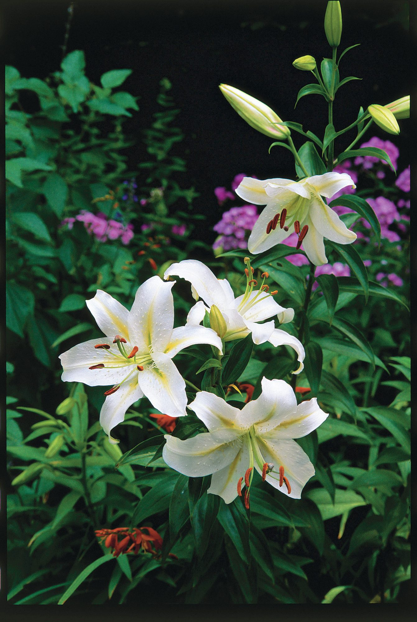 Planting oriental lilies southern living planting oriental lilies izmirmasajfo