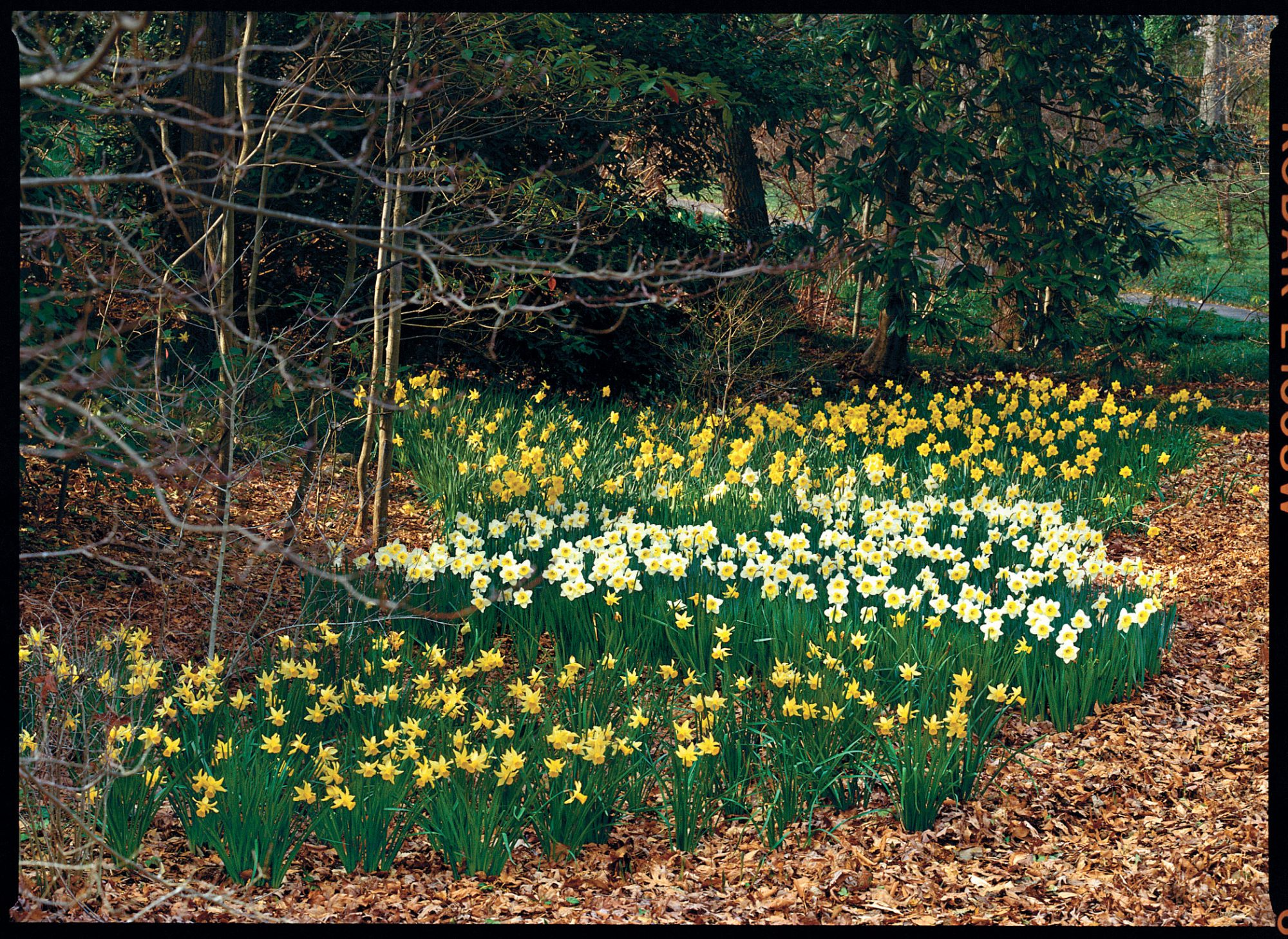 Daffodils: How To Plant 'Em Like Mother Nature - Southern Living