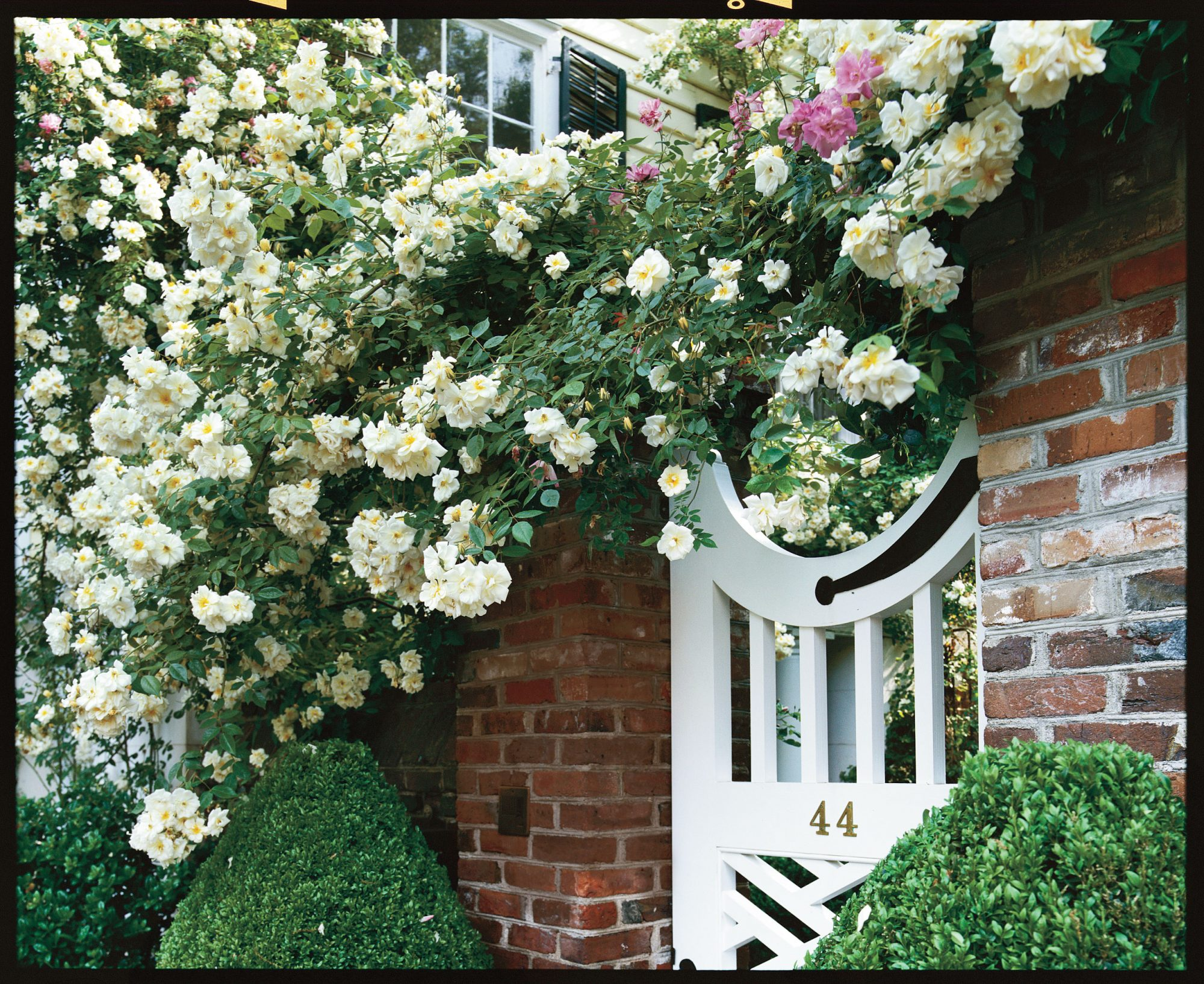 Southern Gardening: Noisette Rose In Charleston
