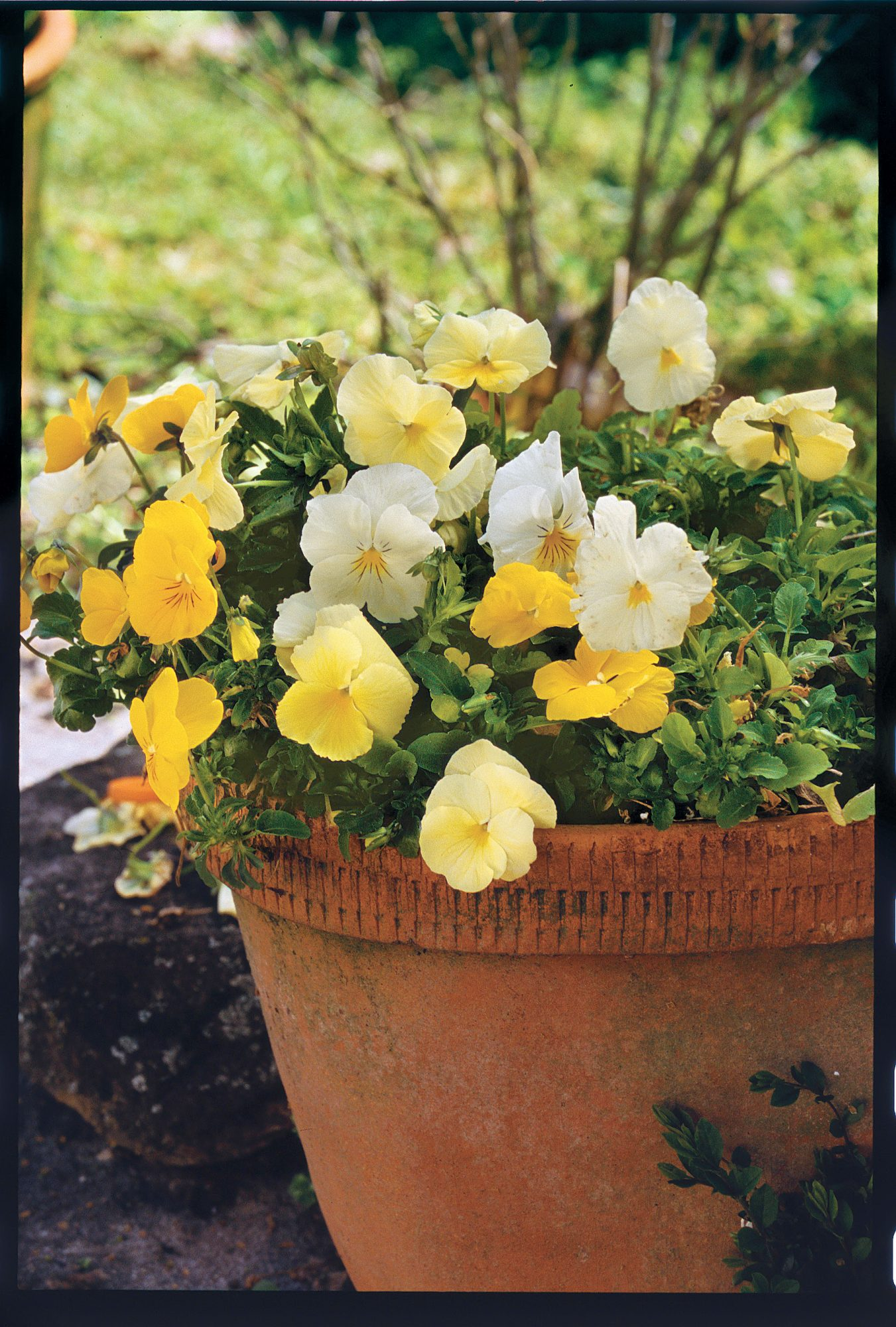 Pansy Pick-me-up Tricks for Winter