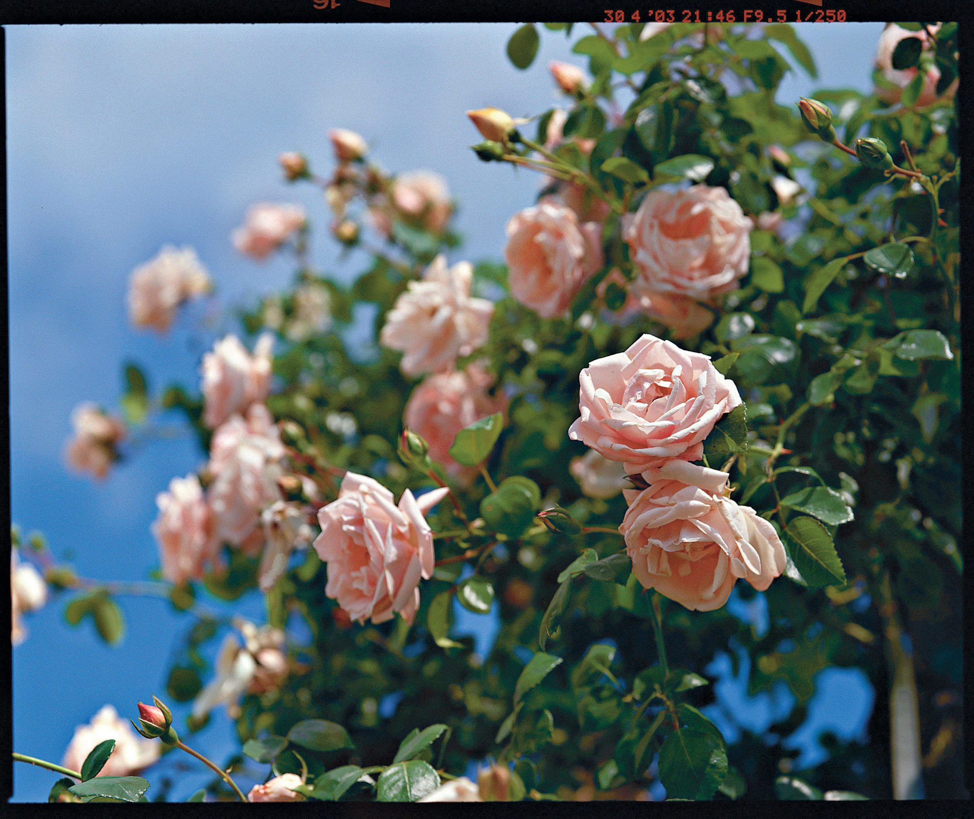 Roses In Garden: Summer Care For 'Knock Out' Rose