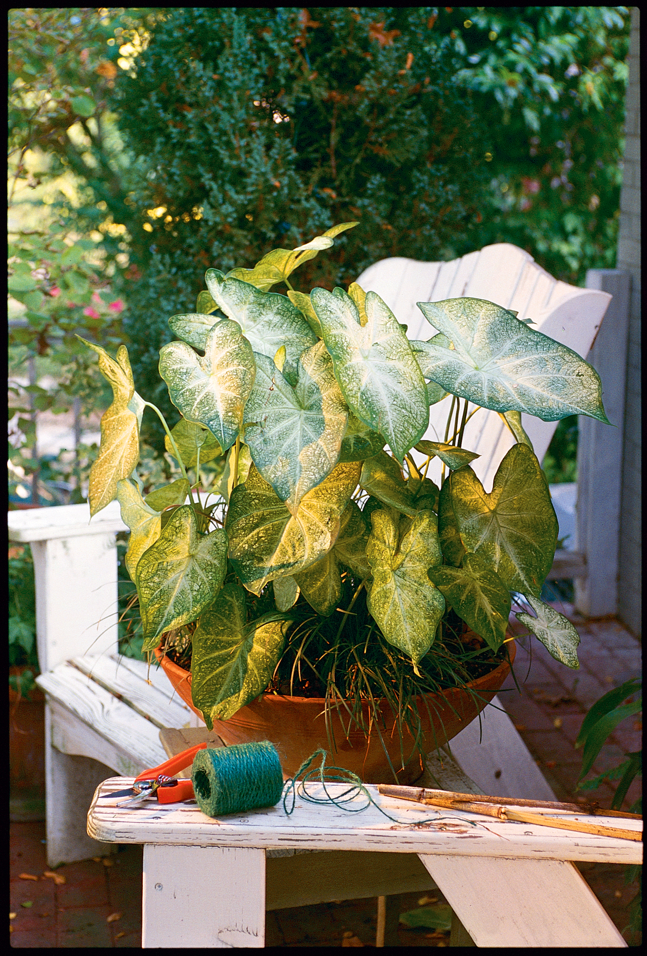 Head Start for Caladiums