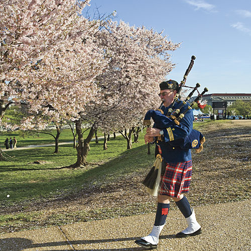 picture of cherry blossom trees in washington dc national mall