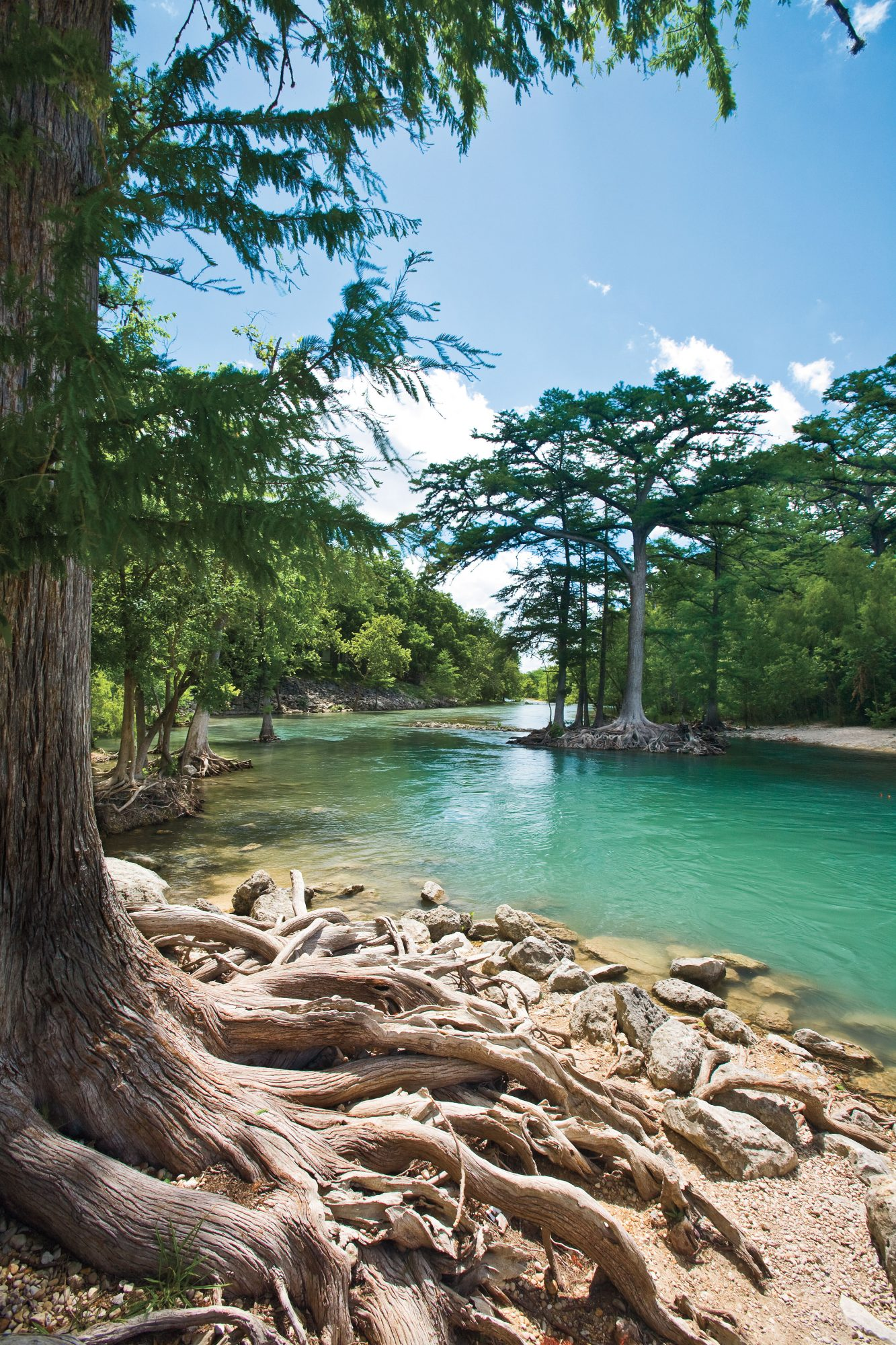 Cypress Trees on the Guadalupe River, Texas