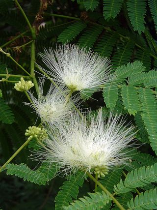 Mimosa The Wonderful Awful Weed Southern Living