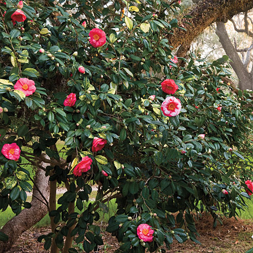 Southern Gardening: Camellia