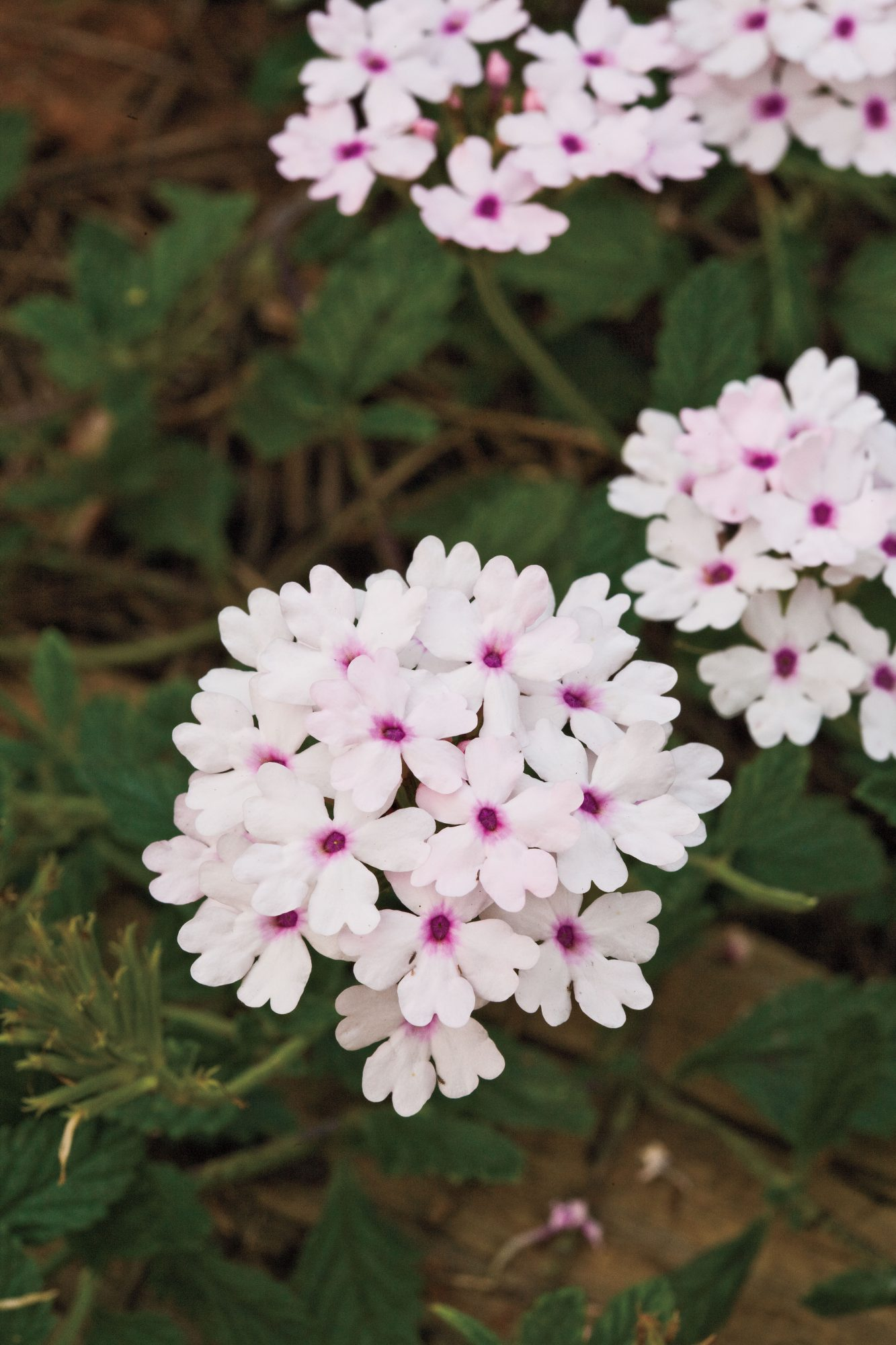 Spring Garden Flowers: 'Princess Blush'