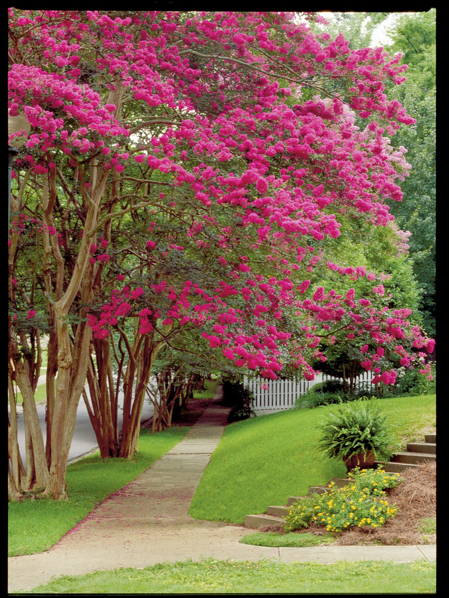 History Of Crepe Myrtles In The South Southern Living