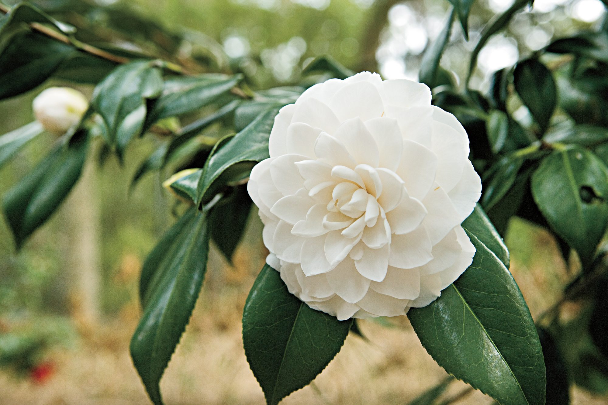 Japanese camellia: varieties, planting and care at home, reviews, photos 5