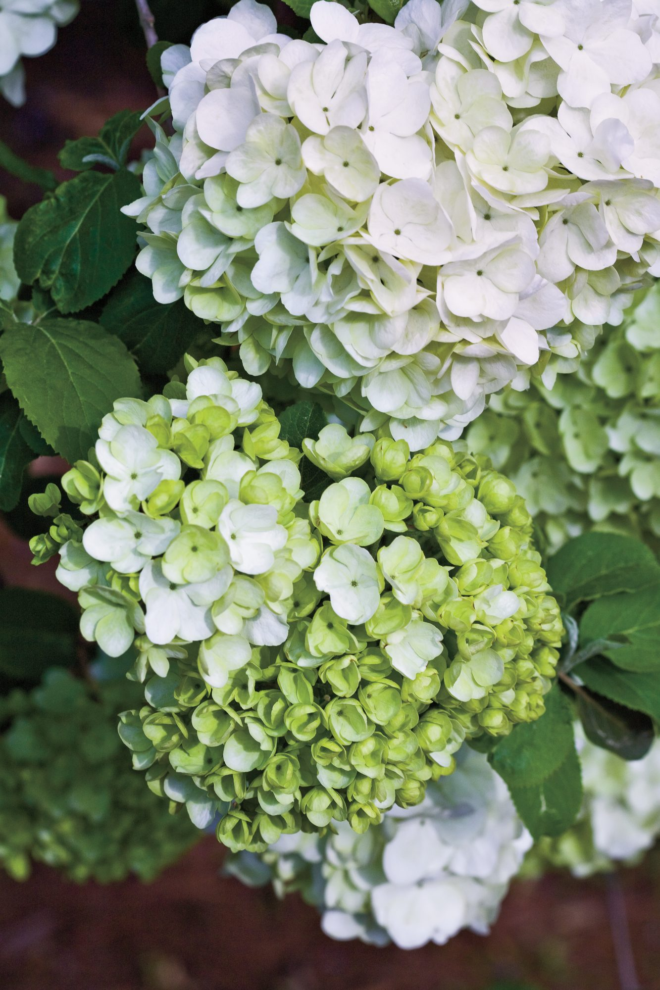 Planting Flowering Shrubs: Elegant Chinese Snowball Viburnum