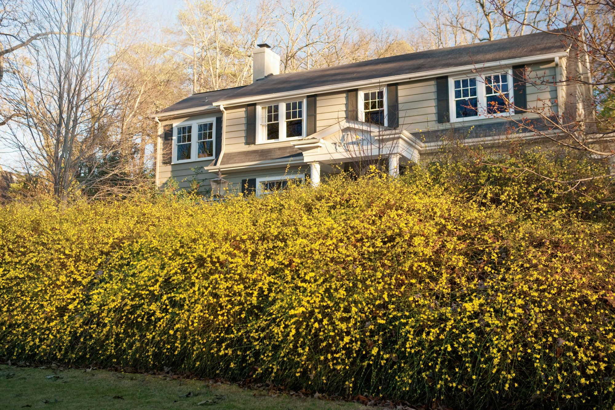 Winter Jasmine - Southern Living
