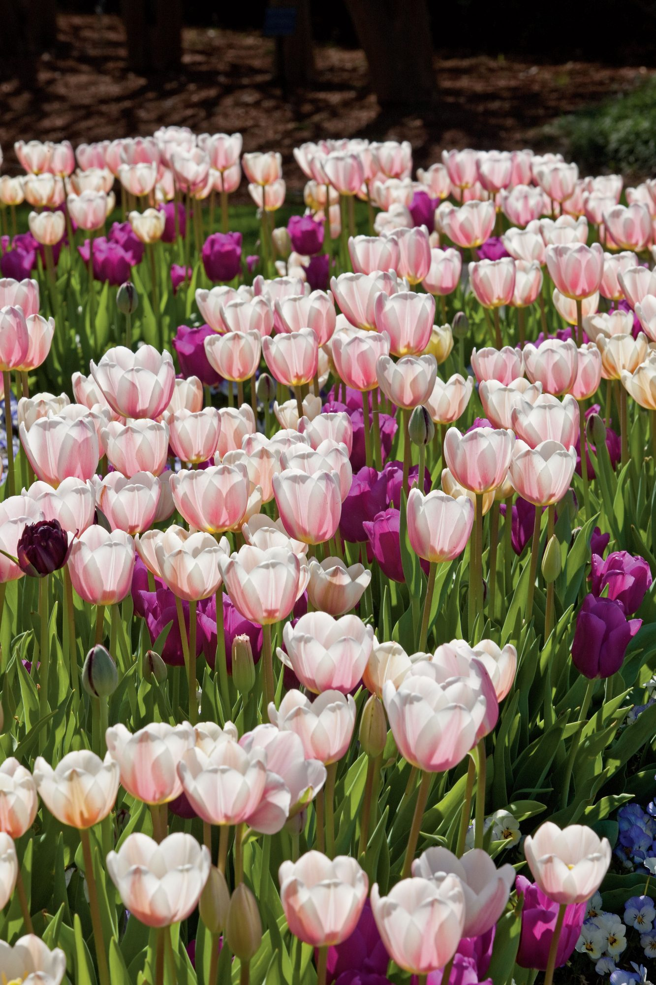 Pink & Purple Tulips