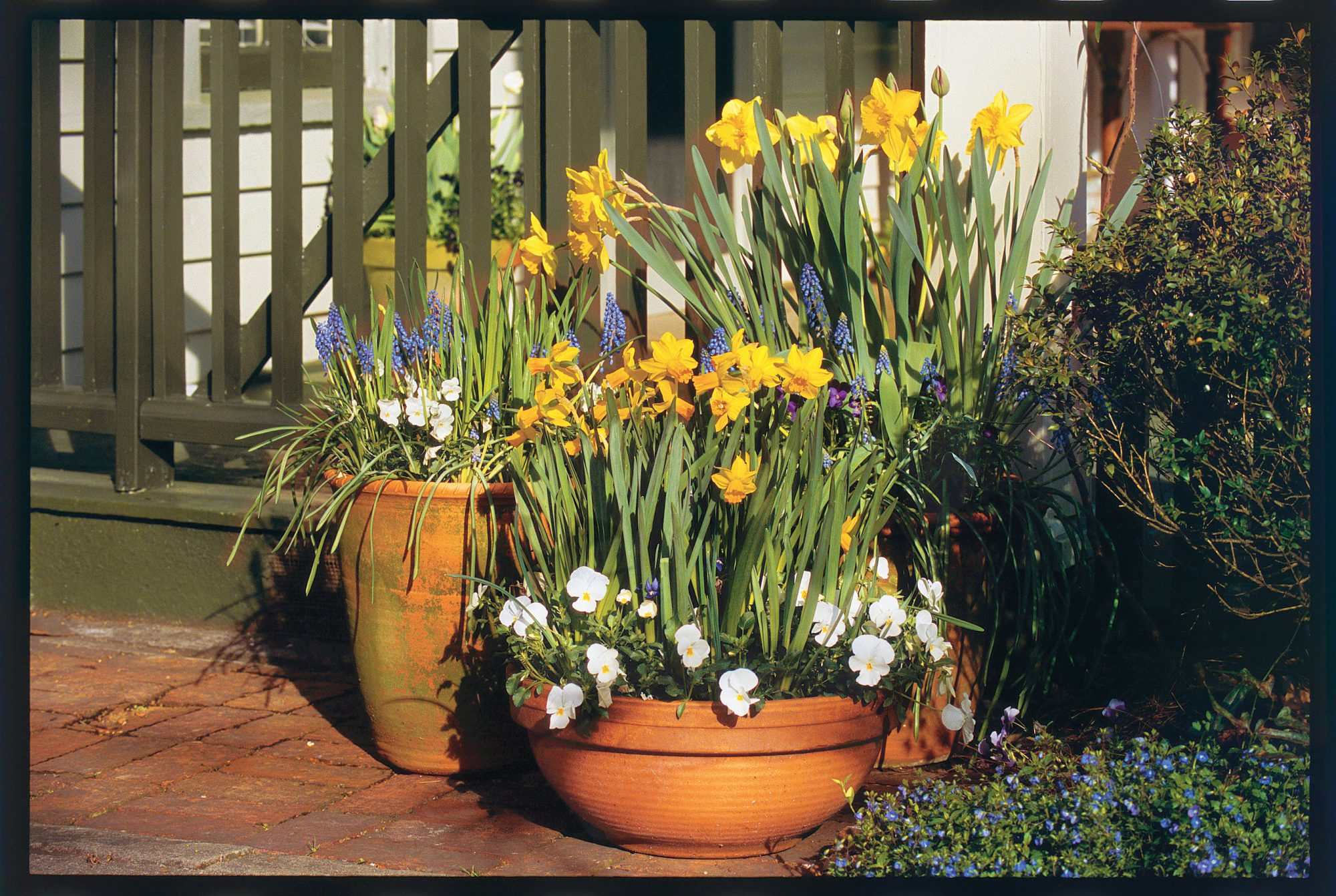 Daffodils & Grape Hyacinth