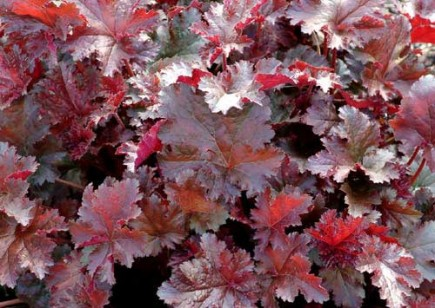 Heuchera: Color My Shade Garden - Las semillas de jardín de Scott Arboretum