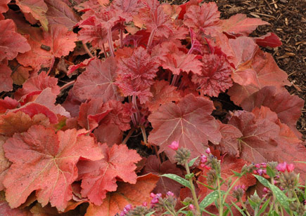 Heuchera | Costa Farms