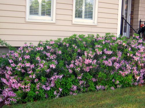 Pruning Azaleas When How Southern Living