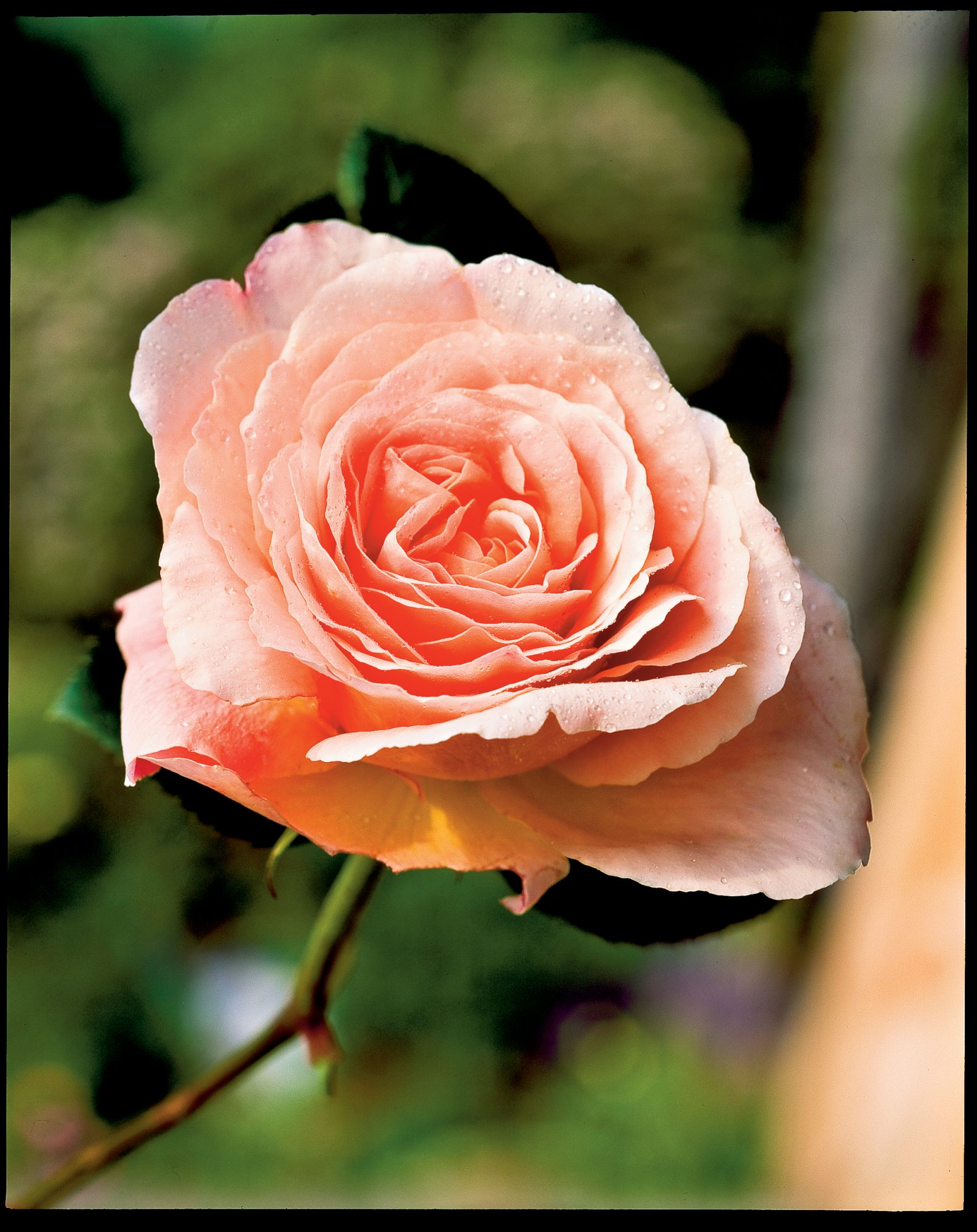 'Abraham Darby' Rose