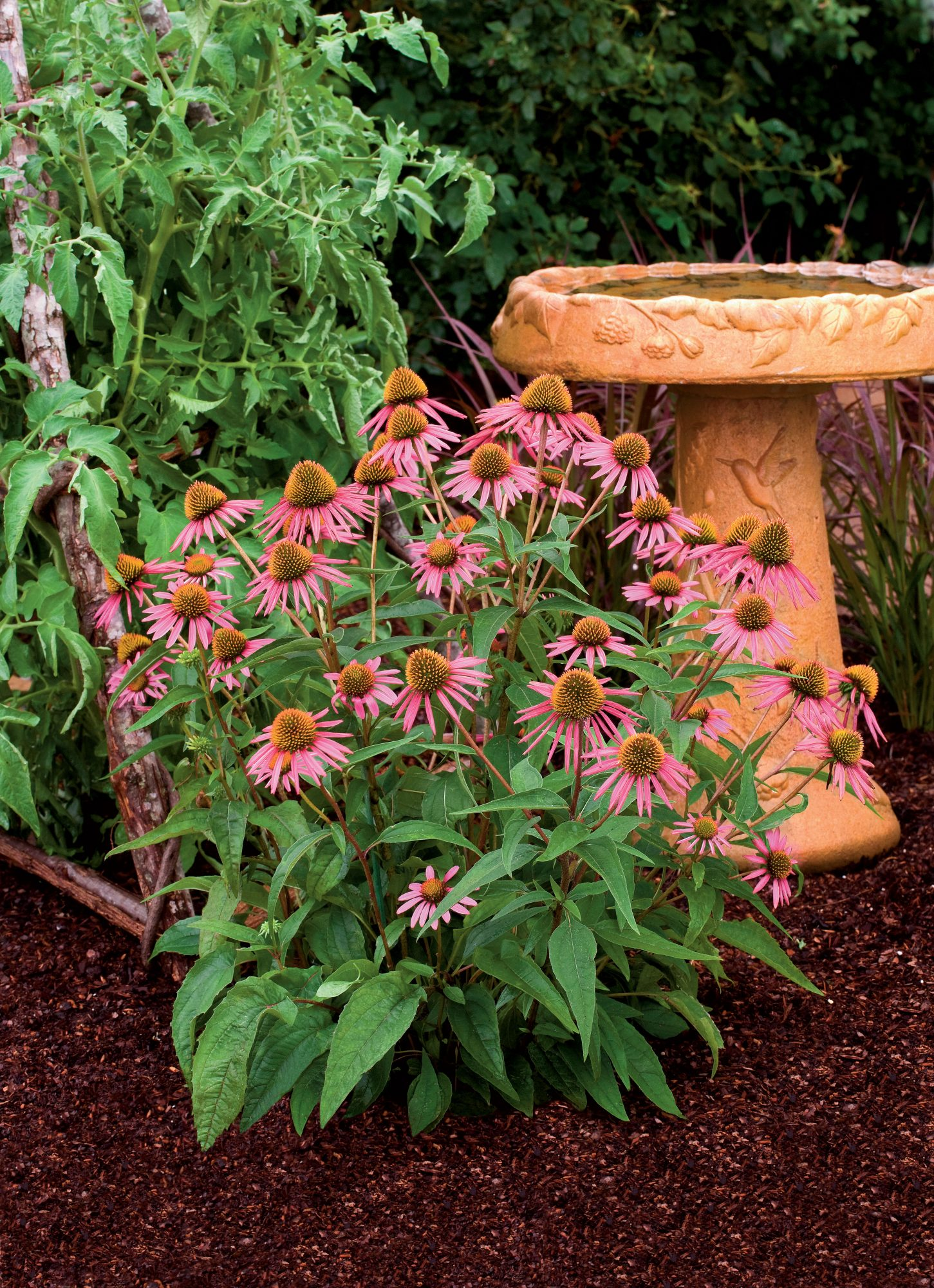 Colorful Echinacea Coneflower Gardens Southern Living