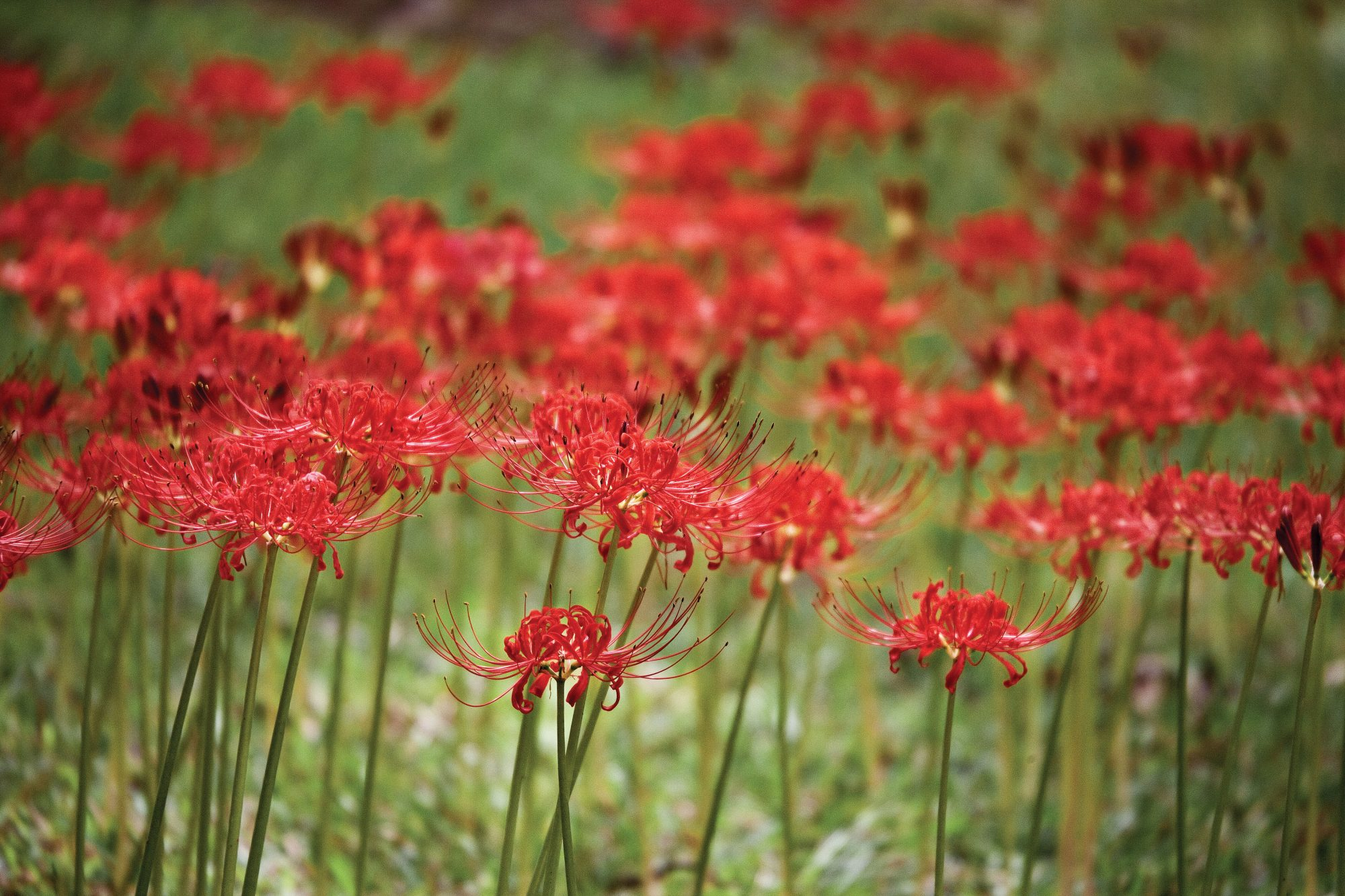 Spider lilies bloom like magic southern living spider lilies izmirmasajfo