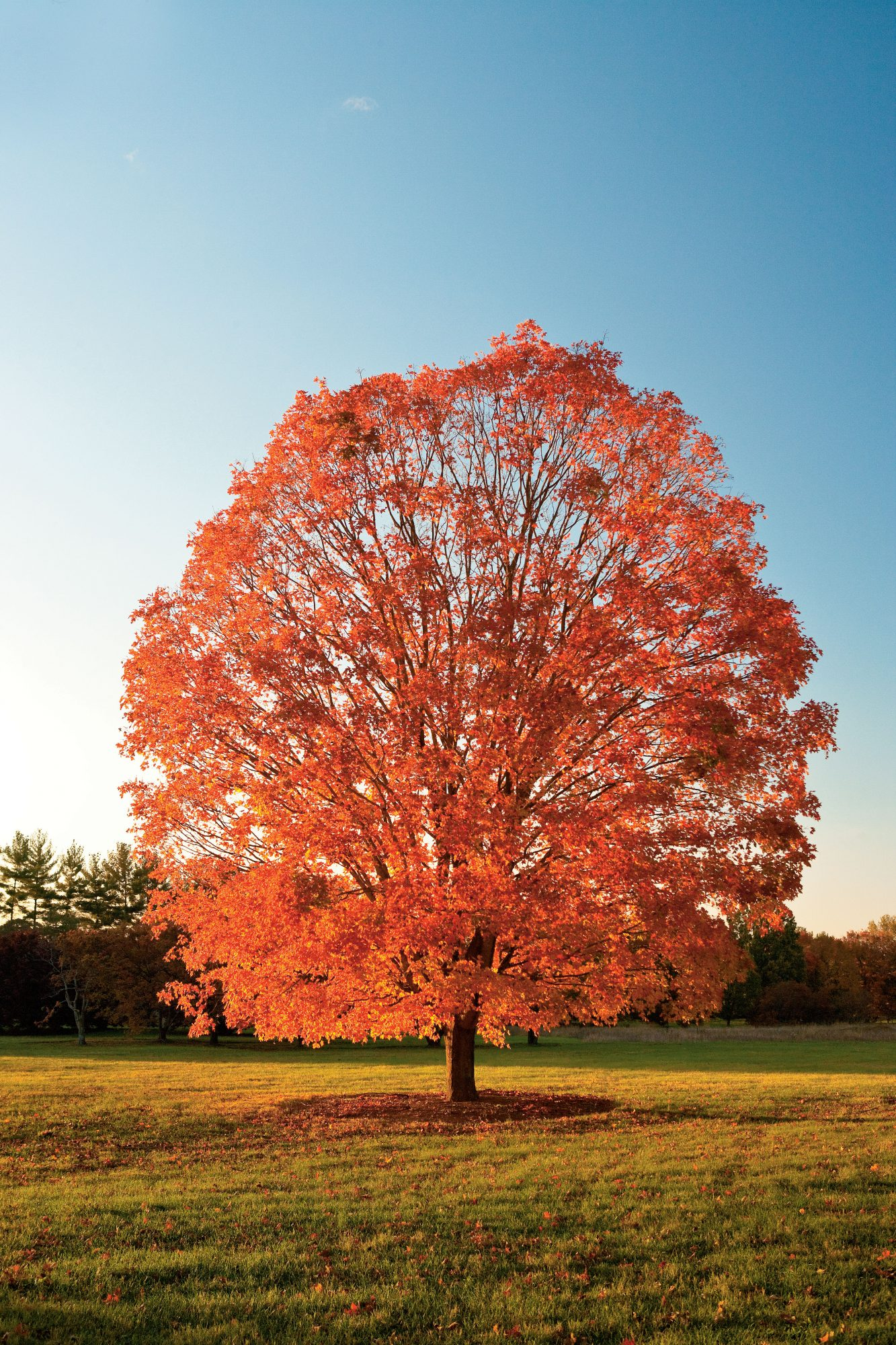 Pick The Right Maple Tree Southern Living