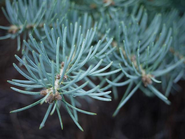 fdrichards-white-fir.jpg